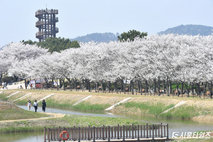 [포토] 시흥갯골생태공원에 만개한 벚꽃